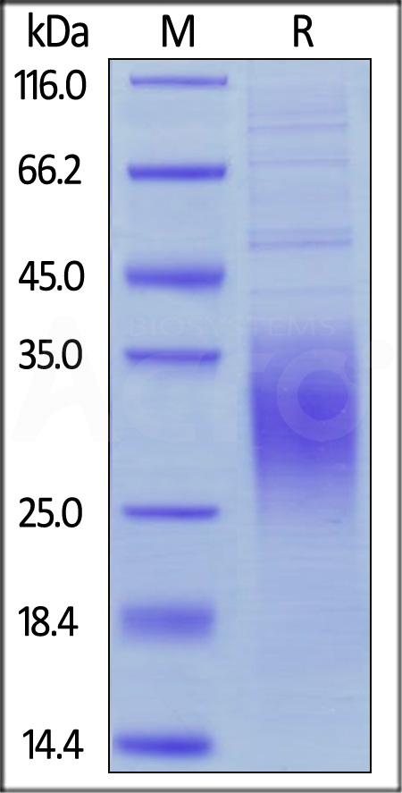 Human BTLA (Cat. No. BTA-H52E0) SDS-PAGE gel