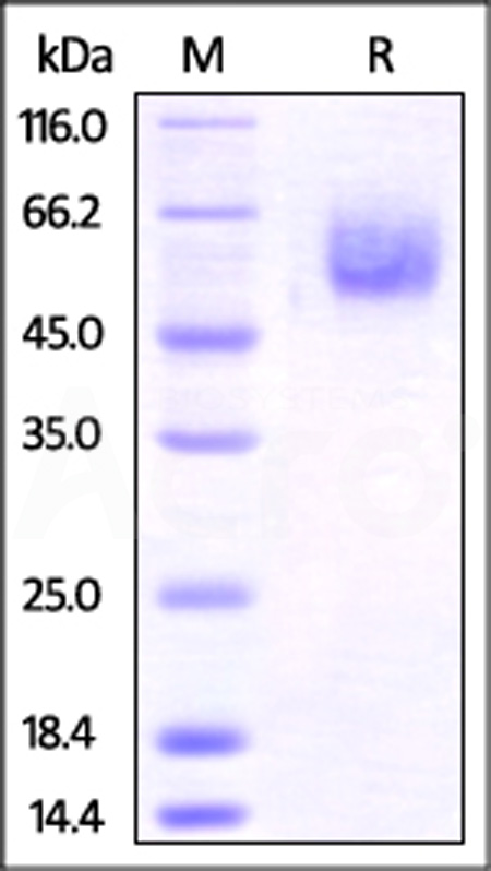 Mouse BTLA, Fc Tag (Cat. No. BTA-M5253) SDS-PAGE gel