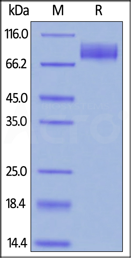Biotinylated Human CA125, Fc Tag, Avi Tag (Cat. No. CA5-H82F4) SDS-PAGE gel