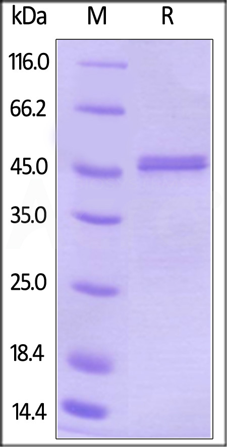 Biotinylated Human CBLB, His Tag (Cat. No. CBB-H81Q8) SDS-PAGE gel
