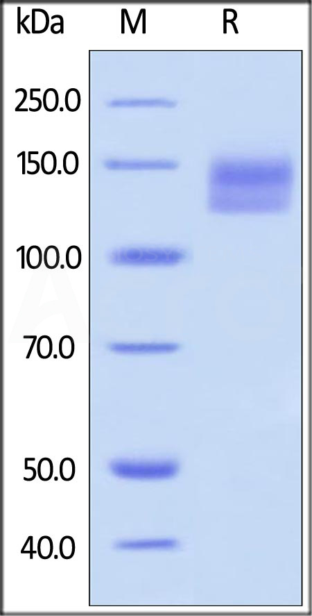 Human SEMA4D, Fc Tag (Cat. No. CD0-H5257) SDS-PAGE gel