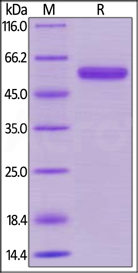 Human CD40, Mouse IgG2a Fc Tag, low endotoxin (Cat. No. CD0-H525a) SDS-PAGE gel