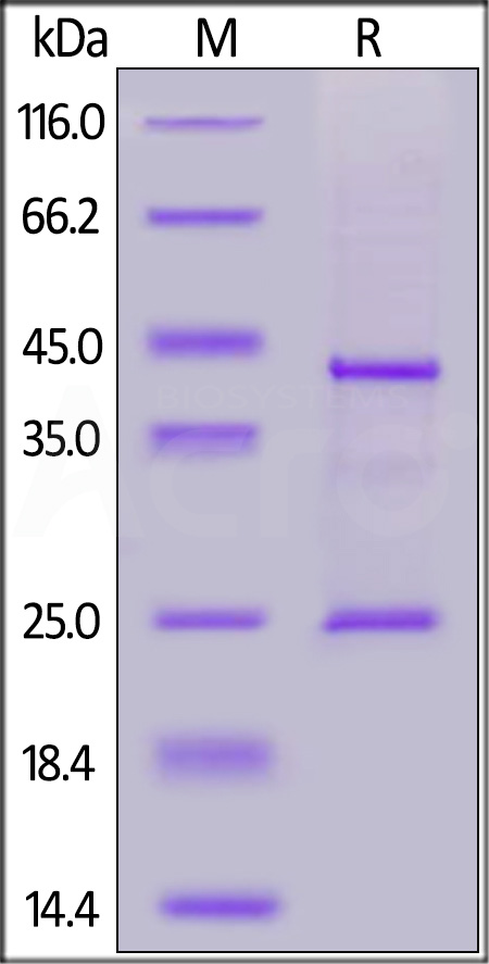 Biotinylated Human CD20 Full Length, His,Avitag (Cat. No. CD0-H82E3) SDS-PAGE gel