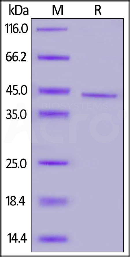 Biotinylated Human CD20 Full Length, His,Avitag (HEK293) (Cat. No. CD0-H82E5) SDS-PAGE gel