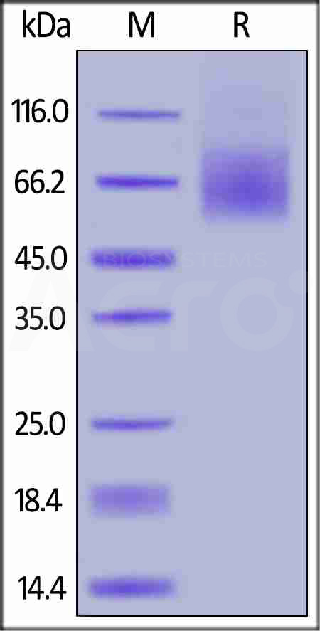 FITC-Labeled Human CD30, His Tag (Cat. No. CD0-HF2H3) SDS-PAGE gel
