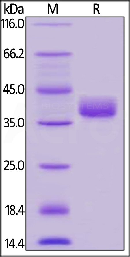 Human CD52, Fc Tag (Cat. No. CD2-H525a) SDS-PAGE gel