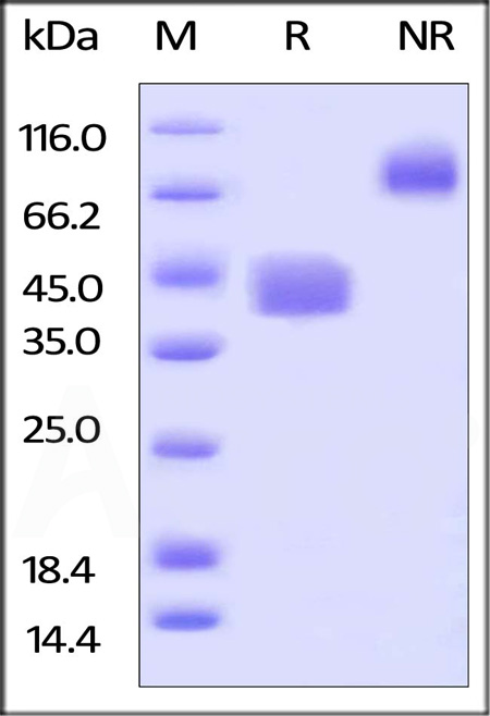 Biotinylated Human CD52, Fc Tag (Cat. No. CD2-H82F3) SDS-PAGE gel