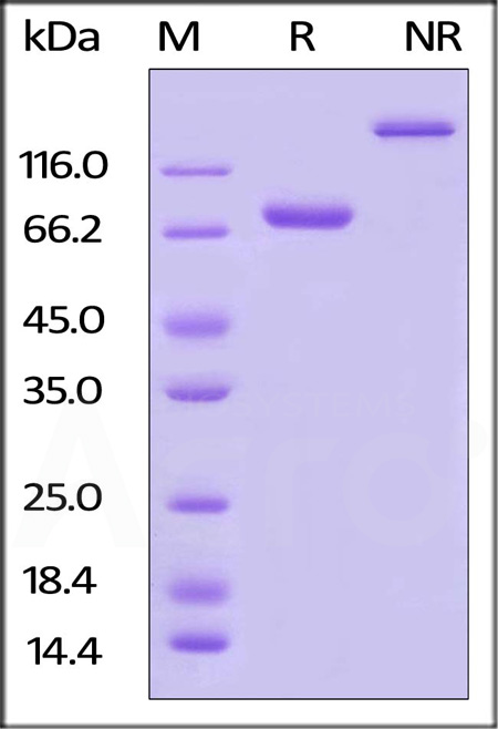 Biotinylated Human Nectin-2, Fc Tag (Cat. No. CD2-H82F8) SDS-PAGE gel