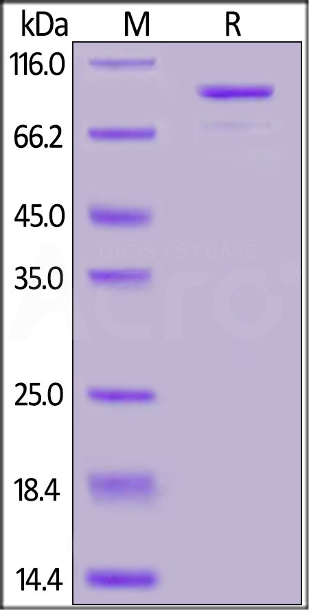 Human CD73, Mouse IgG2a Fc Tag (Cat. No. CD3-H5252) SDS-PAGE gel