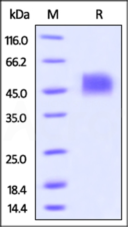 Biotinylated Human Siglec-3 / CD33, His Tag (Cat. No. CD3-H82E7) SDS-PAGE gel