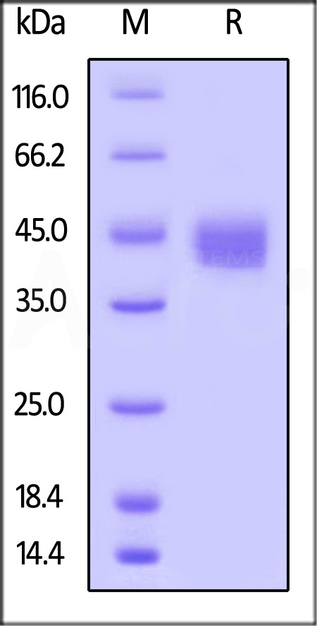 Biotinylated Human CD23, His Tag (Cat. No. CD3-H82Q5) SDS-PAGE gel