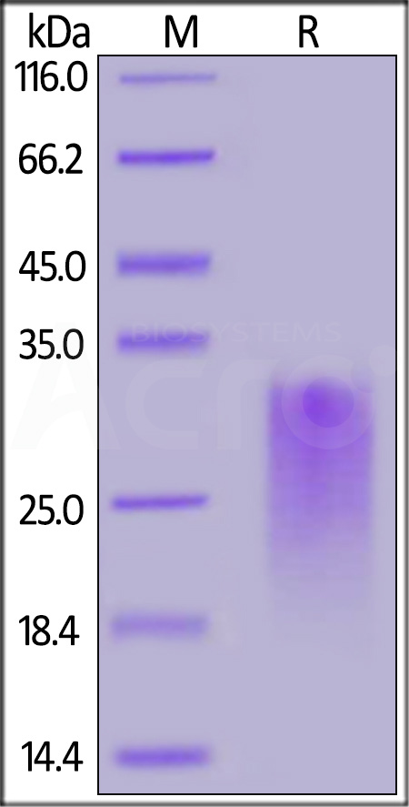Human CD24, His Tag (Cat. No. CD4-H52H3) SDS-PAGE gel