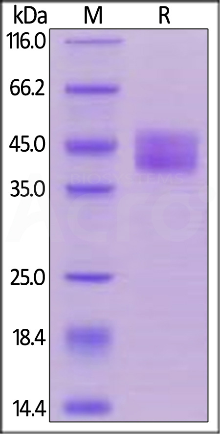 Biotinylated Human CD84, His,Avitag (Cat. No. CD4-H82E5) SDS-PAGE gel