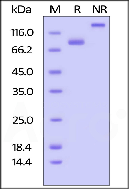 Biotinylated Human CD4, Fc,Avitag (Cat. No. CD4-H82F3) SDS-PAGE gel