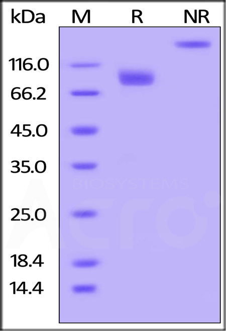 Human CD155, Mouse IgG2a Fc Tag, low endotoxin (Cat. No. CD5-H5254) SDS-PAGE gel