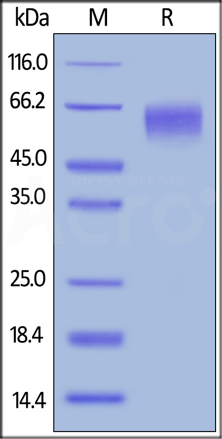 Biotinylated Human CD155, His,Avitag (Cat. No. CD5-H82E3) SDS-PAGE gel