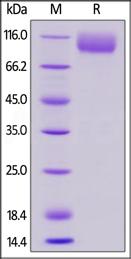 Biotinylated Mouse CD155, Fc,Avitag (Cat. No. CD5-M82F7) SDS-PAGE gel