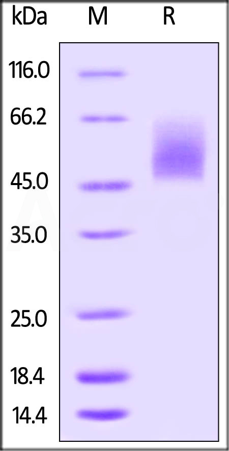 Biotinylated Human B7-2, His Tag (Cat. No. CD6-H82E2) SDS-PAGE gel