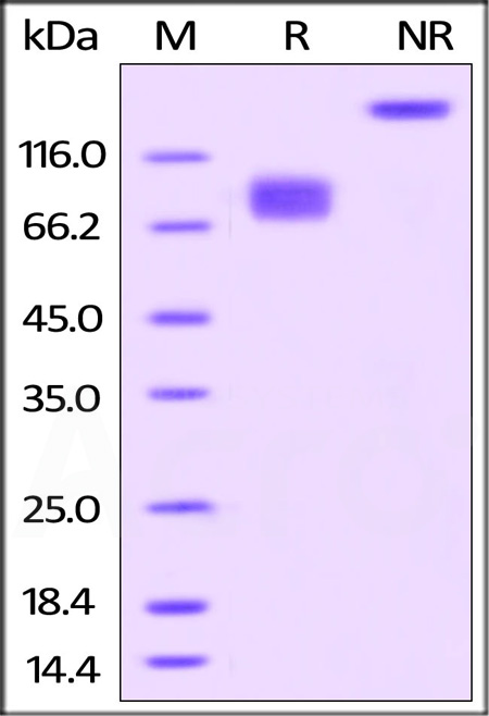 Biotinylated Human B7-2, Fc Tag (Cat. No. CD6-H82F5) SDS-PAGE gel