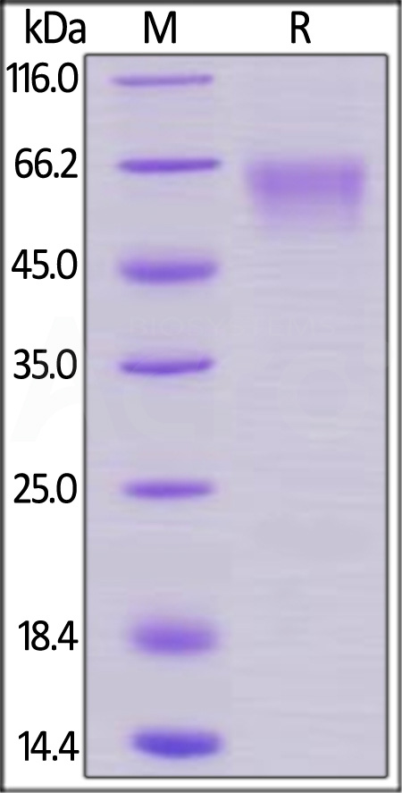Cynomolgus / Rhesus macaque CD27, Mouse IgG2a Fc Tag, low endotoxin (Cat. No. CD7-C5259) SDS-PAGE gel