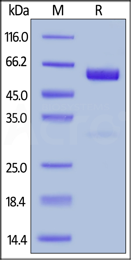 Human CD47, Fc Tag (HPLC-verified) (Cat. No. CD7-H5256) SDS-PAGE gel