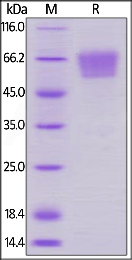 Human CD27, Mouse IgG2a Fc Tag (Cat. No. CD7-H5257) SDS-PAGE gel