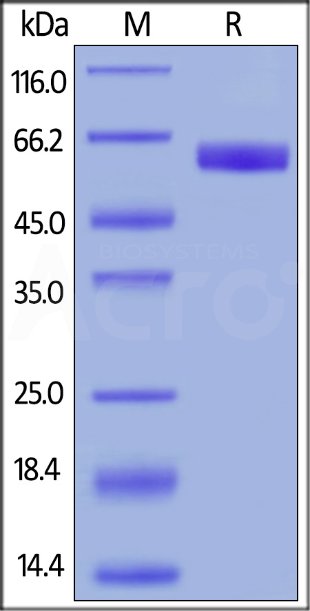 Human CD47, Mouse IgG2a Fc Tag, low endotoxin (Cat. No. CD7-H52A5) SDS-PAGE gel