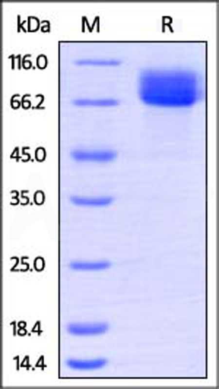 expression of kitlg and kit receptor analysis View human scf/c-kit ligand biotinylated antibody (baf255) datasheet validated in elisa(det), wb.