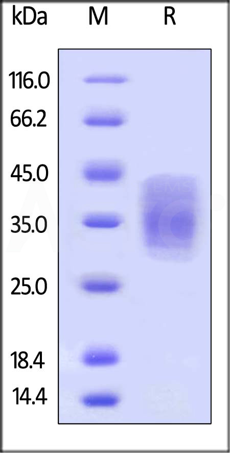 Biotinylated Human EMMPRIN, His Tag (Cat. No. CD7-H82E0) SDS-PAGE gel