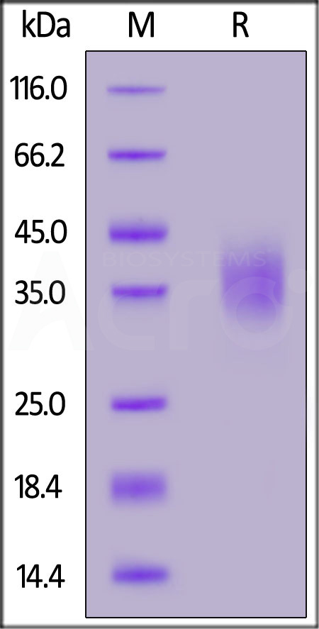 Biotinylated Human CD47, His,Avitag (Cat. No. CD7-H82E9) SDS-PAGE gel