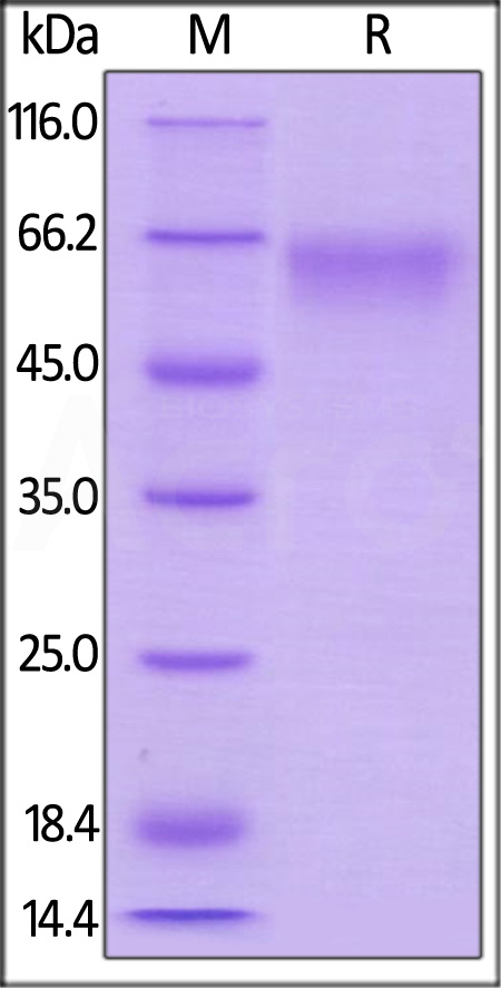 Mouse CD27, Mouse IgG2a Fc Tag, low endotoxin (Cat. No. CD7-M5252) SDS-PAGE gel