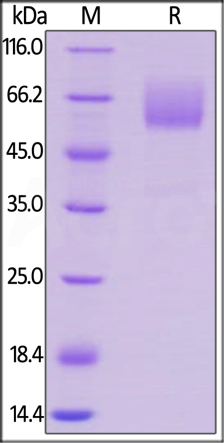 Mouse CD47, Mouse IgG2a Fc Tag, low endotoxin (Cat. No. CD7-M525a) SDS-PAGE gel