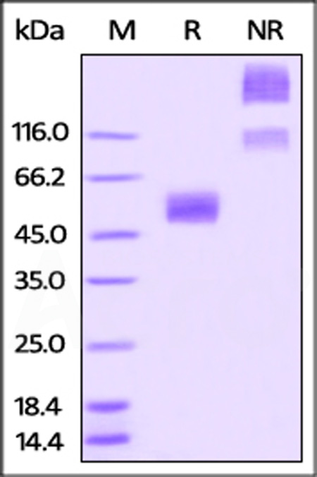 Rabbit CD47, Fc Tag (Cat. No. CD7-R5257) SDS-PAGE gel