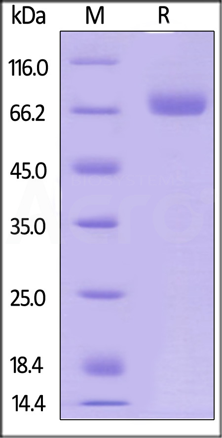 Human CD38, Fc Tag (Cat. No. CD8-H5255) SDS-PAGE gel