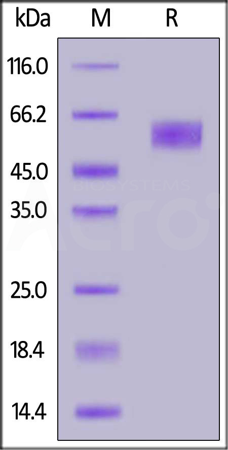 Human / Cynomolgus / Rhesus macaque CD28, Mouse IgG2a Fc Tag, low endotoxin (Cat. No. CD8-H52A5) SDS-PAGE gel