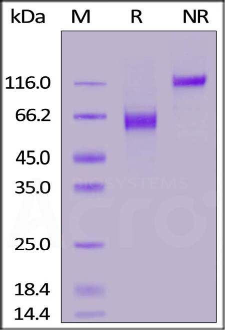 Biotinylated Human / Cynomolgus / Rhesus macaque CD28, Fc,Avitag (Cat. No. CD8-H82F2) SDS-PAGE gel