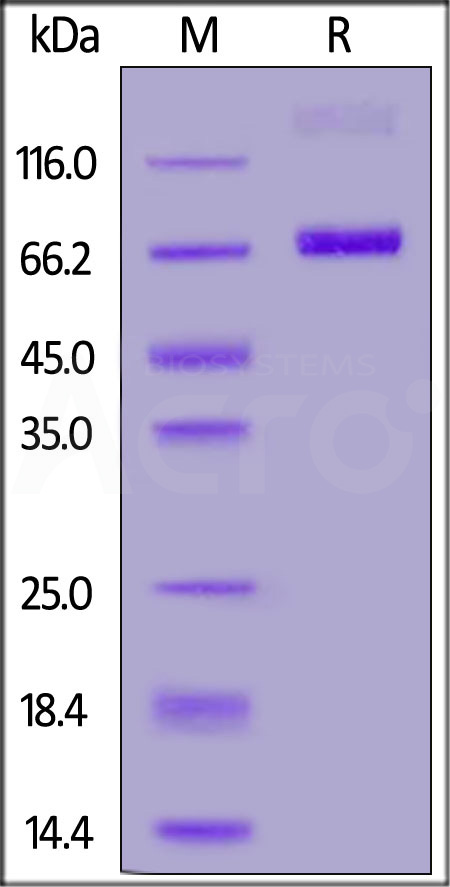 FITC-Labeled Human CD38, Fc Tag (Cat. No. CD8-HF255) SDS-PAGE gel