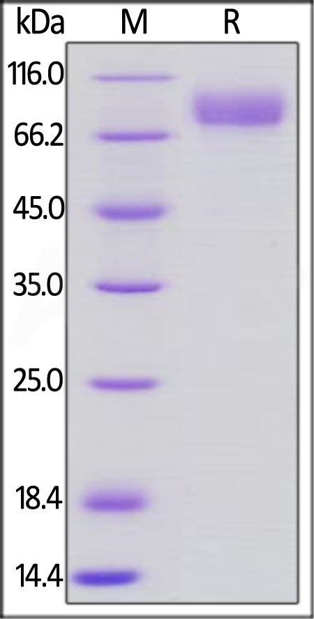 Human CD19 (20-291), Llama IgG2b Fc Tag, low endotoxin (Cat. No. CD9-H5250) SDS-PAGE gel