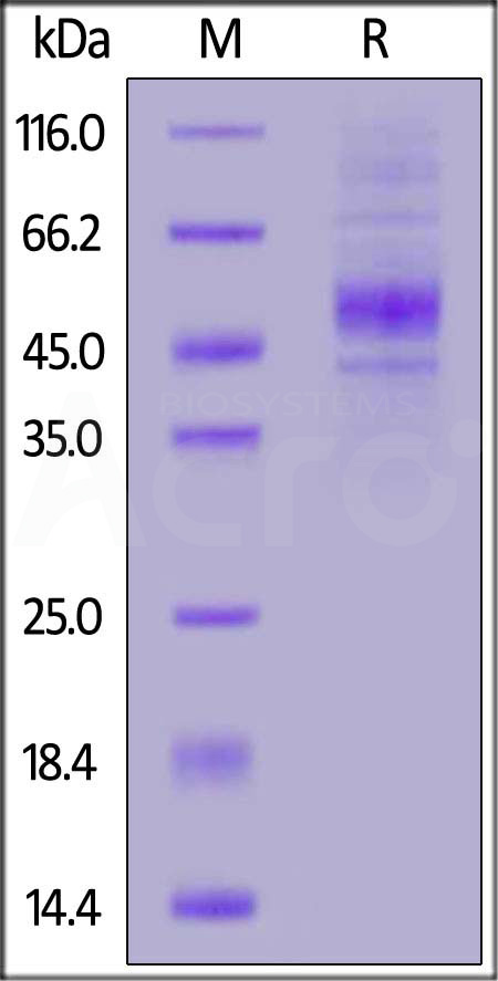 Human CD19 (20-291), His Tag (Cat. No. CD9-H52H2) SDS-PAGE gel