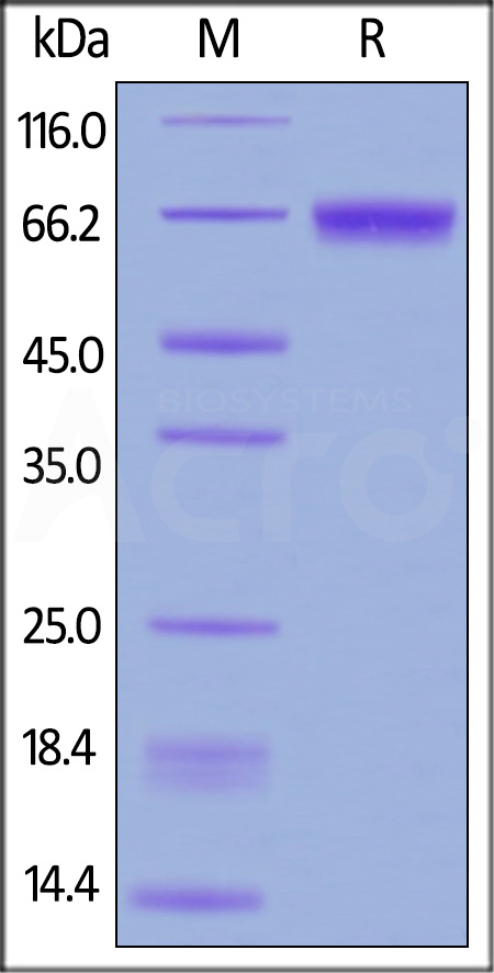 Human CD229, His Tag (Cat. No. CD9-H52H6) SDS-PAGE gel