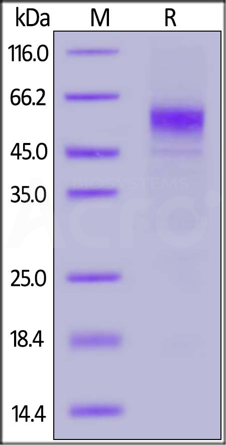 Biotinylated Human CD19 (20-291), His,Avitag (Cat. No. CD9-H82E9) SDS-PAGE gel