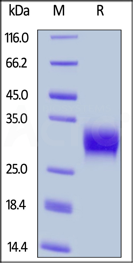 Human CD32a (R167) (SPR verified) (Cat. No. CDA-H5221) SDS-PAGE gel
