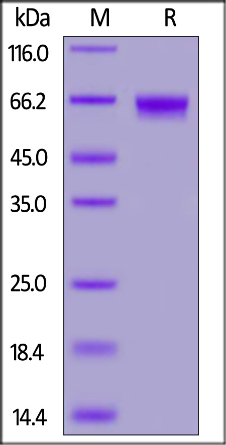 Human LILRB3, His Tag (Cat. No. CDA-H52H9) SDS-PAGE gel