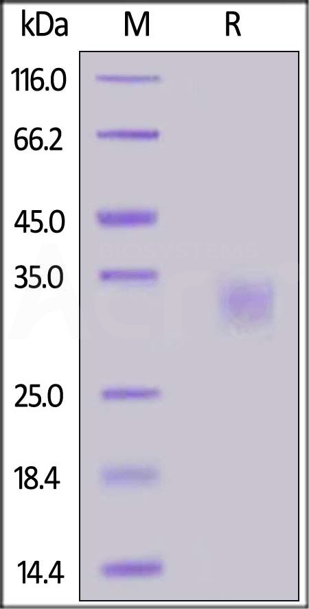 Biotinylated Human CD32a (R167), His Tag, Avi Tag (SPR verified) (Cat. No. CDA-H82E7) SDS-PAGE gel