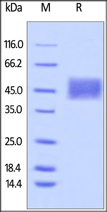 Biotinylated Human CD16a (F176), His Tag, Avi Tag (SPR verified) (Cat. No. CDA-H82E8) SDS-PAGE gel