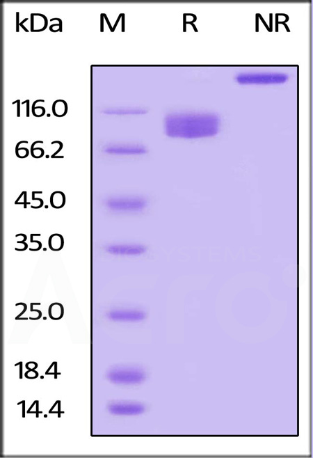 Biotinylated Human LILRB3, Fc,Avitag (Cat. No. CDA-H82F6) SDS-PAGE gel