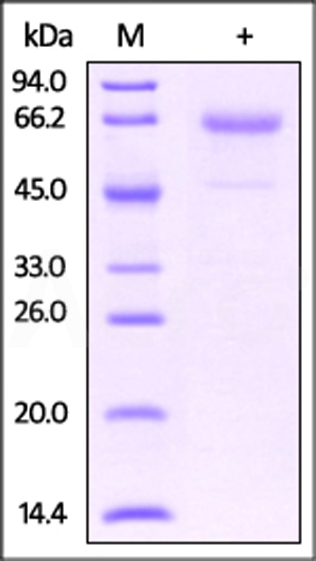 Mouse Glycophorin A, His Tag & Fc Tag (Cat. No. CDA-M526x) SDS-PAGE gel
