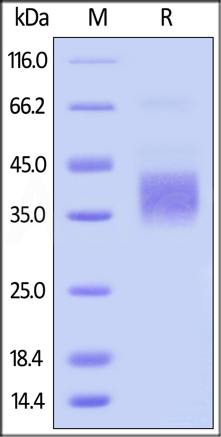 Biotinylated Mouse CD32b, His Tag, Avi Tag (SPR verified) (Cat. No. CDB-M82E8) SDS-PAGE gel