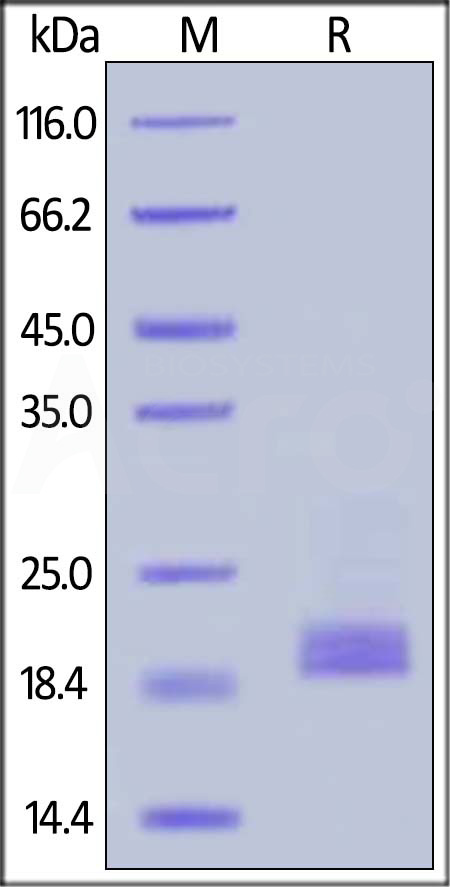 Biotinylated Cynomolgus CD3E&CD3D Heterodimer Protein, His,Avitag™&Tag Free (Cat. No. CDD-C82W6) SDS-PAGE gel