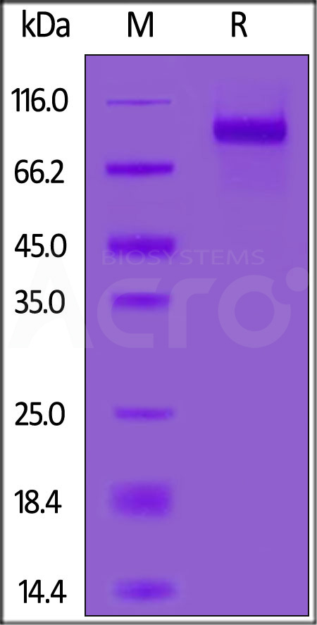 Human LILRB2, Fc Tag (Cat. No. CDD-H5259) SDS-PAGE gel